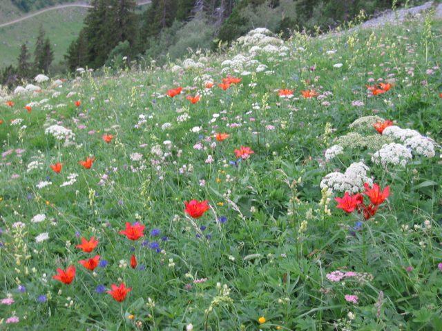 Wunderschöne Bergblumen auf der Fronalp