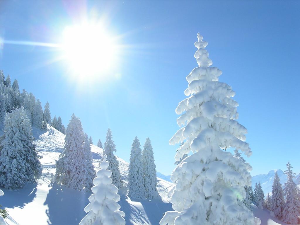Fronalp verschneite Tannen